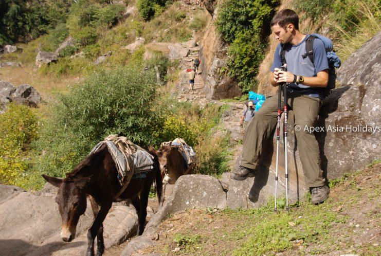 A trekker staring mules along the Annapurna Trekking region