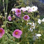 Mountain flowers along the Annapurna Trekking region in Spring and Mansoon season