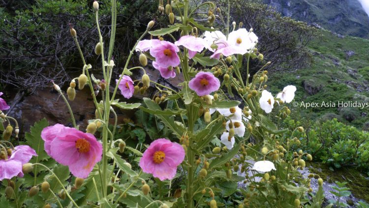 Mountain flowers along the Annapurna Trekking region in Spring and Mansoon season