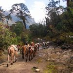 Muels are going to carrying the goods from the lower part of Annappurna Trekking Region - Annapurna Circuit Trek