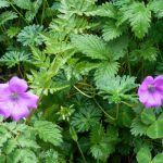 Purple flower en route of Annapurna Trekking Region during the spring and mansoon season