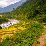 Riped paddy field en route of Annapurna Circuit Trek and Tilicho Lake Trek in Annapurna Trekking Region