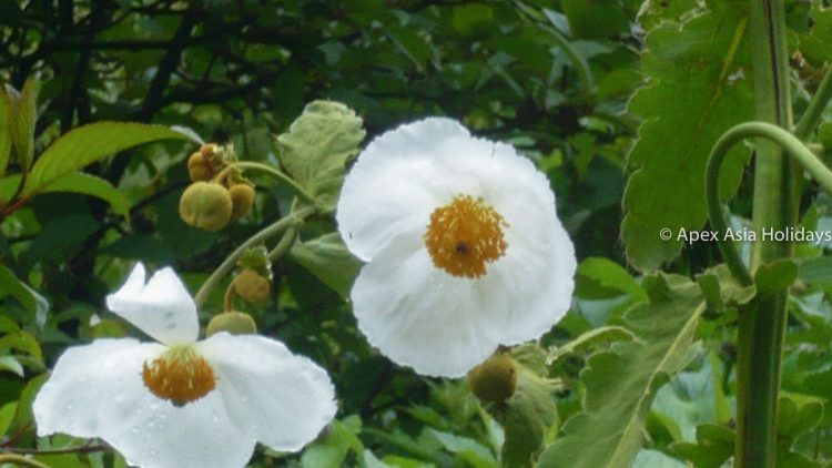 A white flower during the Annapurna Trekking region - Annapurna Circuit Trek