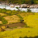 Paddy field and Gandaki along the route of Annapurna Trekking region