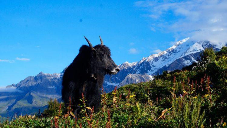 A Yak is posing in Mardi Himal Trek