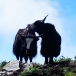 Yaks are in the Mardi Himal Trek Route after upper view point