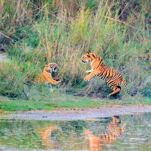 Royal Bengal Tiger in Banke National Park - South Western Nepal
