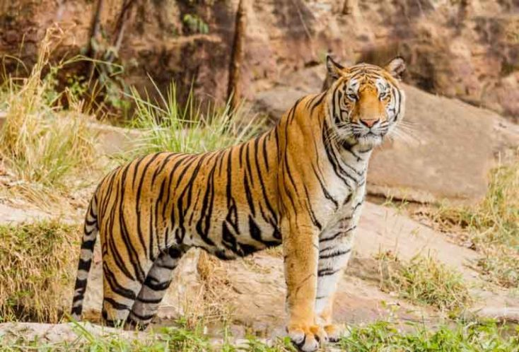 Royal Bengal Tiger in Nepal